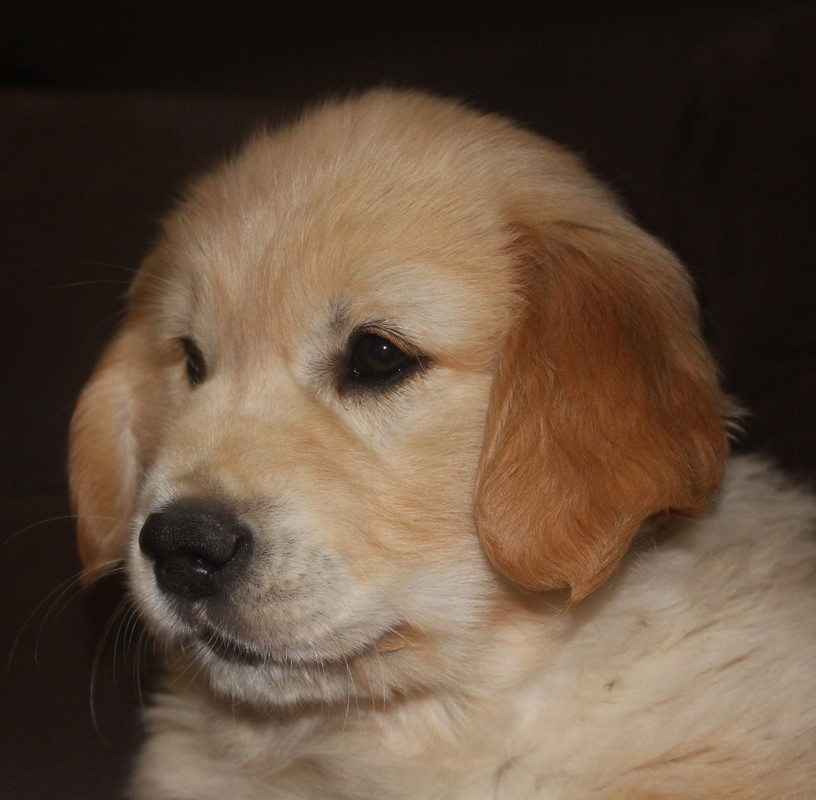 regard d'un chiot Golden Retriever de 2 mois