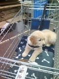 chiot Golden Retriever dans un caddy