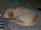 chiot Golden Retriever qui dort 180330