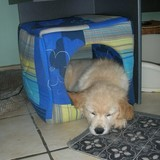 Golden Retriever  dort dans un cube en mousse