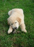 chiot Golden Retriever couché 180330