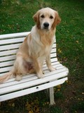 golden retriever sur un banc 181110