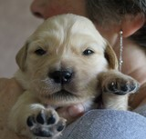 Mousse chiot Golden Retriever
