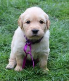 Mousse chiot Golden Retriever 3