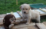 Mousse chiot Golden Retriever 4