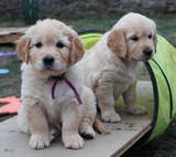Mousse chiot Golden Retriever 6