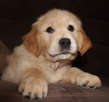 regard Golden Retriever de 2 mois