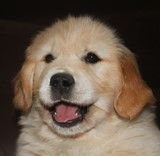 regard Golden Retriever de 8 semaines