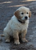 chiot Golden Retriever de 2 mois, assis