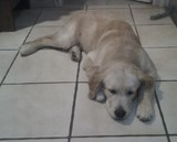 golden retriever qui se repose 1806