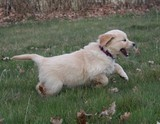 Golden Retriever de 8 semaines qui court